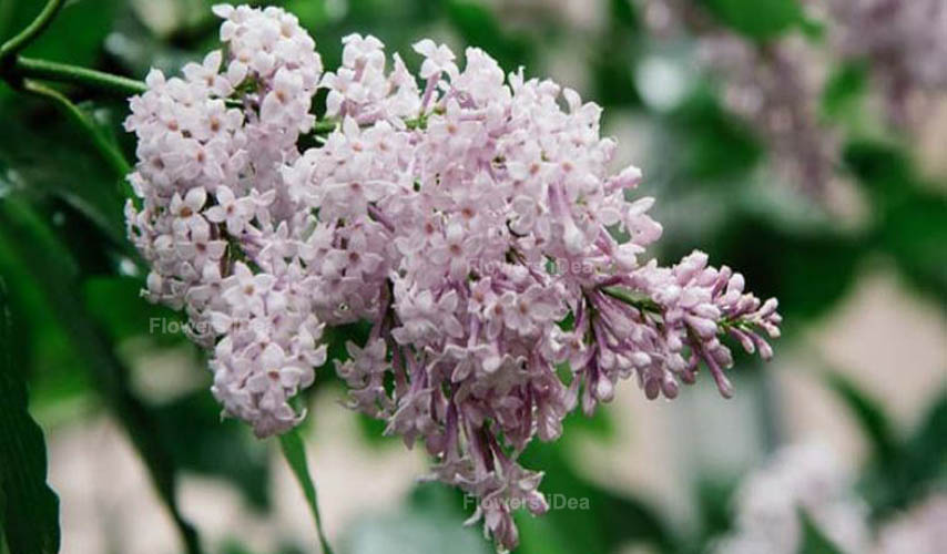 Persian Lilac Flowers