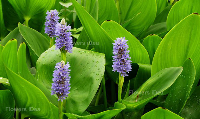 Pickerel Weed One of The Aquatic Flowers