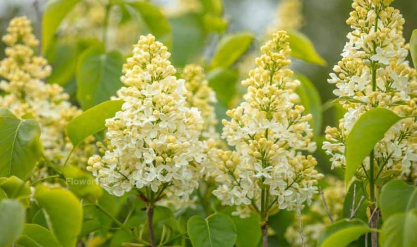 Primrose Lilac Flowers