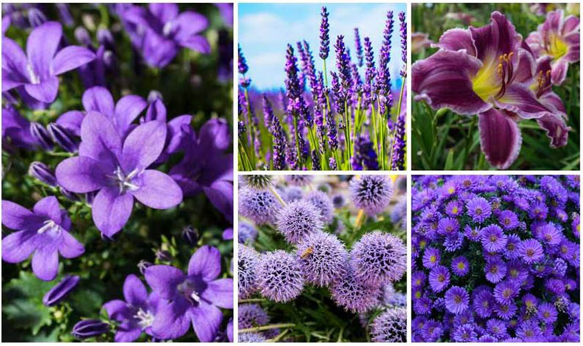 Purple Flowers for Fall