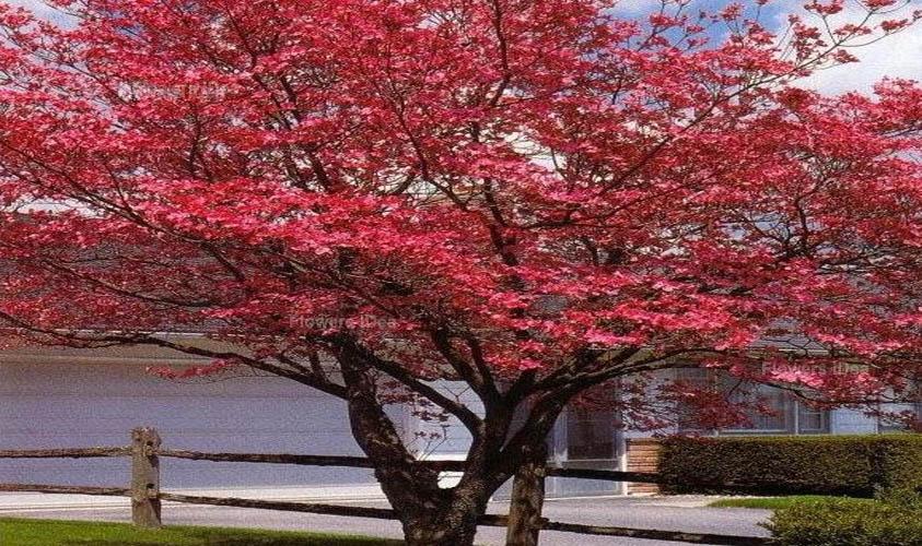 Red Dogwood Tiny Flowers