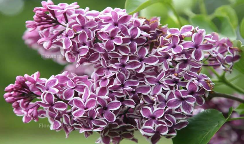 Sensation Lilac Flowers