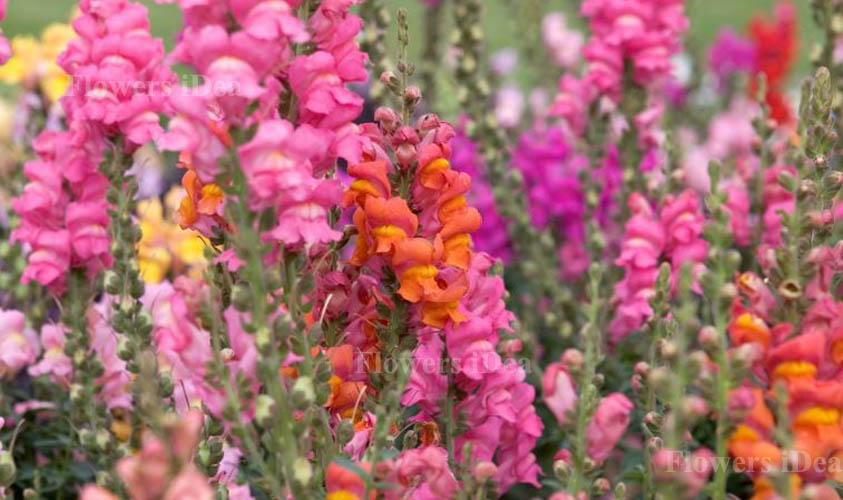 Snap dragon is one of the Beautiful Flowers
