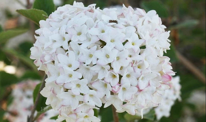 Spice Baby Viburnum is one of the Smelling Flowers