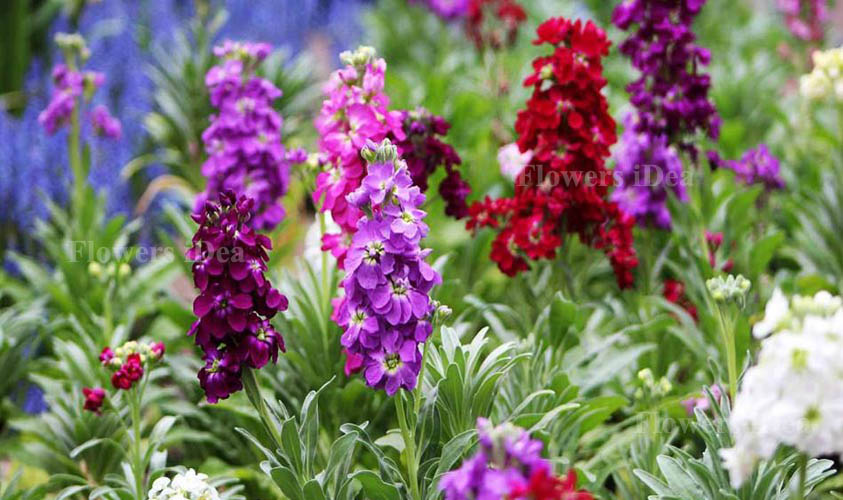 Stock is one of the Beautiful Flowers
