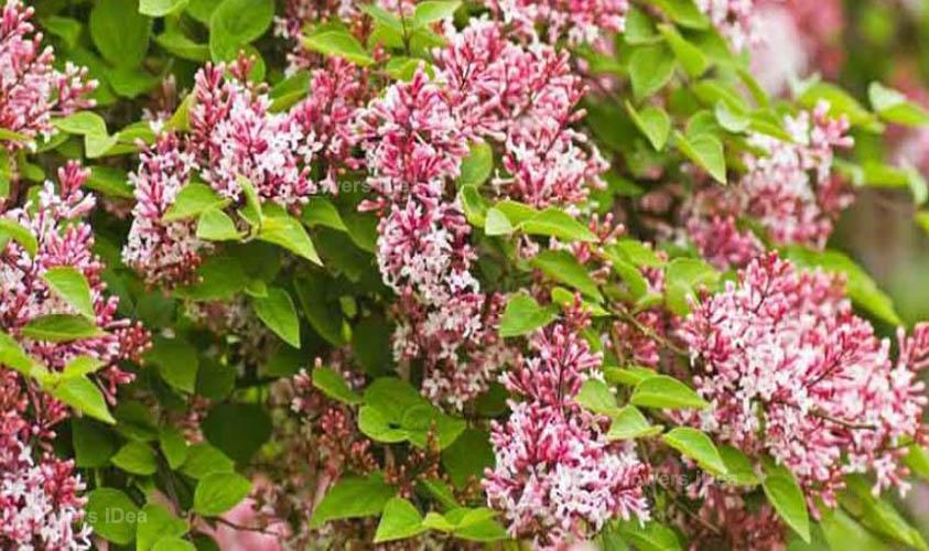 Superba Lilac Flowers