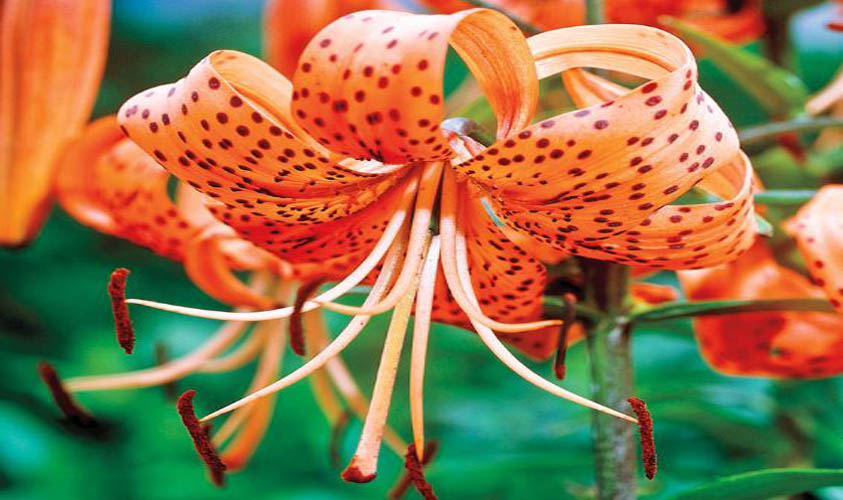 Tiger Lily Flowers