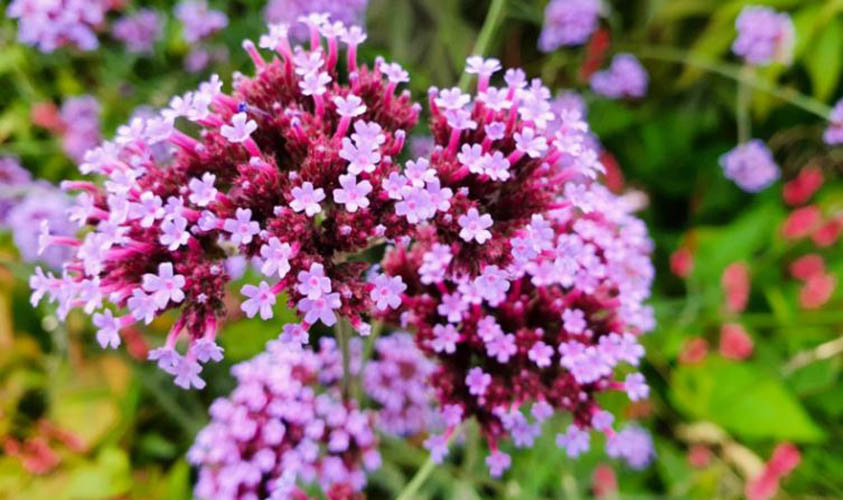 Verbena Amazing Flowers
