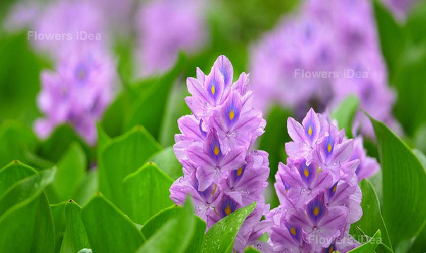 Water Hyacinth One of The Aquatic Flowers