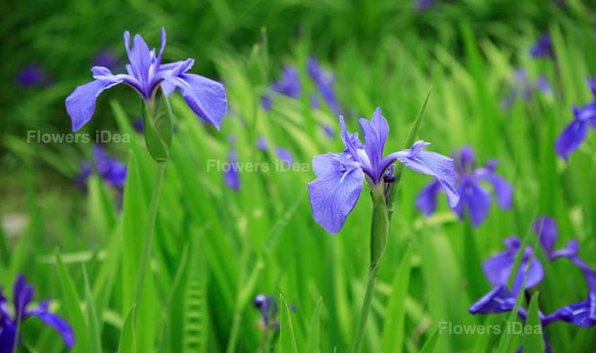 Water Iris One of The Aquatic Flowers