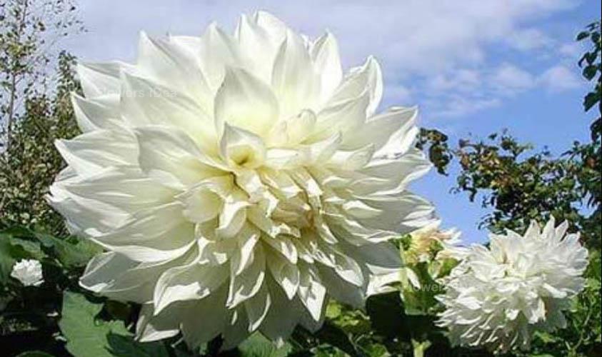 Dahlia White Flowers