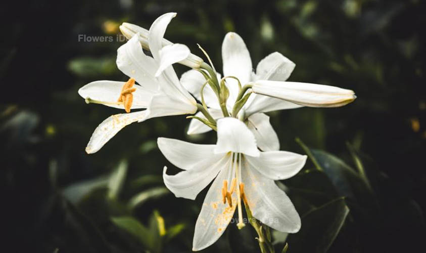 White Lily White Flowers