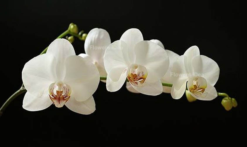 White Orchid White Flowers