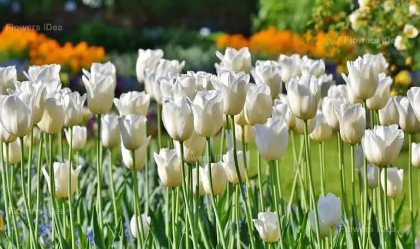 White Tulips White Flowers
