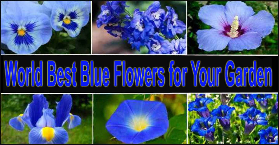 World Best Blue Flowers for Your Garden