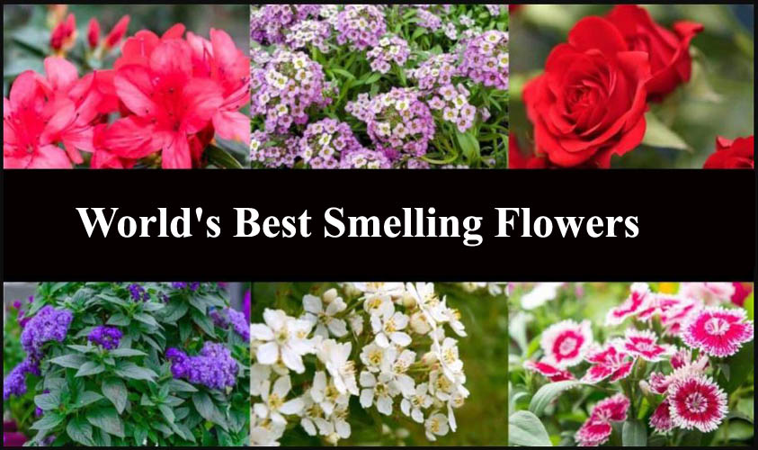 World's Best Smelling Flowers