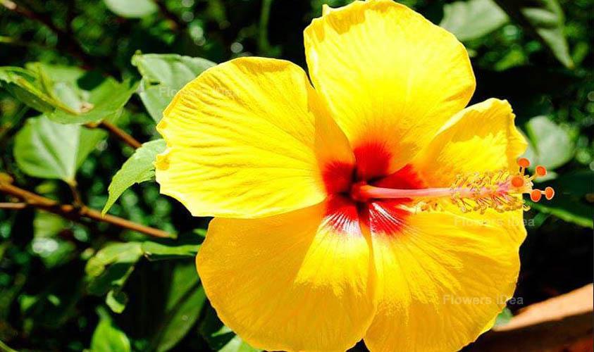Hibiscus Yellow Flowers