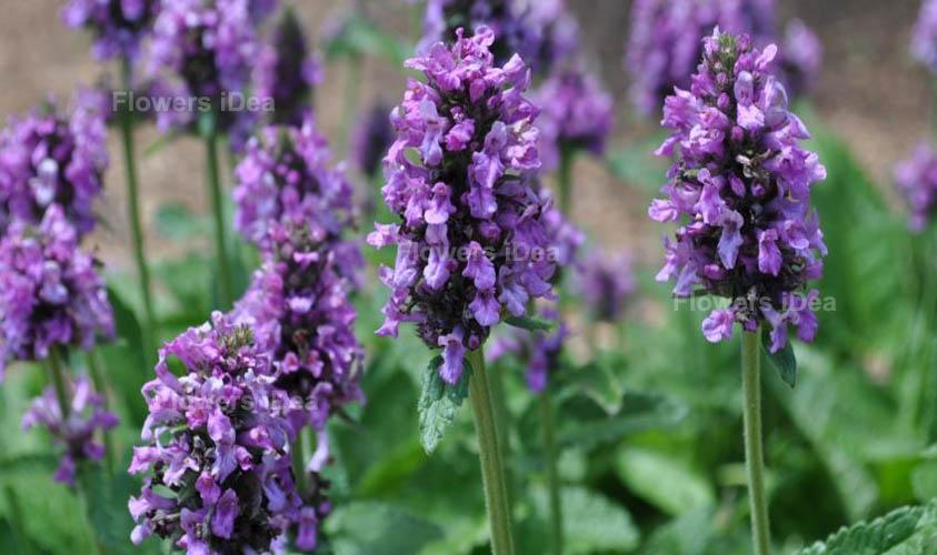 Alpine Betony Purple Summer Flowers