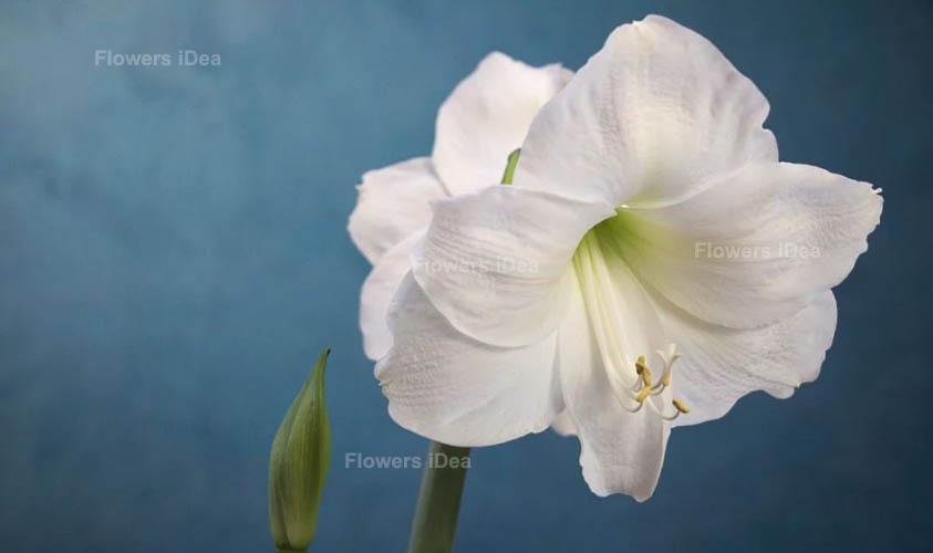 Amaryllis White Spring Flowers