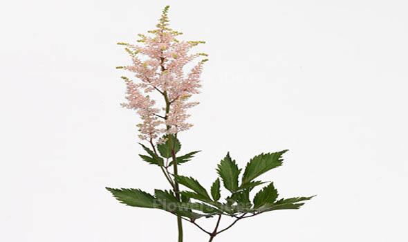 Astilbe White Summer Flowers