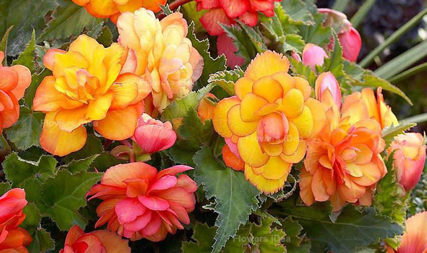 Begonia Yellow Summer Flowers