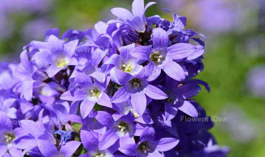 Bellflower Purple Spring Flowers