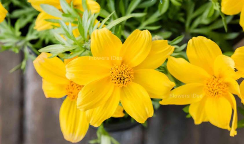 Bidens Yellow Summer Flowers