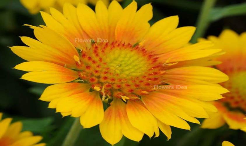 Blanket Yellow Summer Flowers