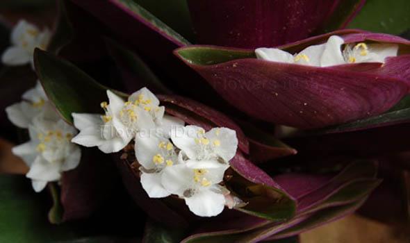 Boat lily Purple Winter Flowers