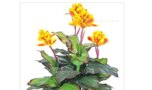 Canna Lily Yellow Fall Flowers