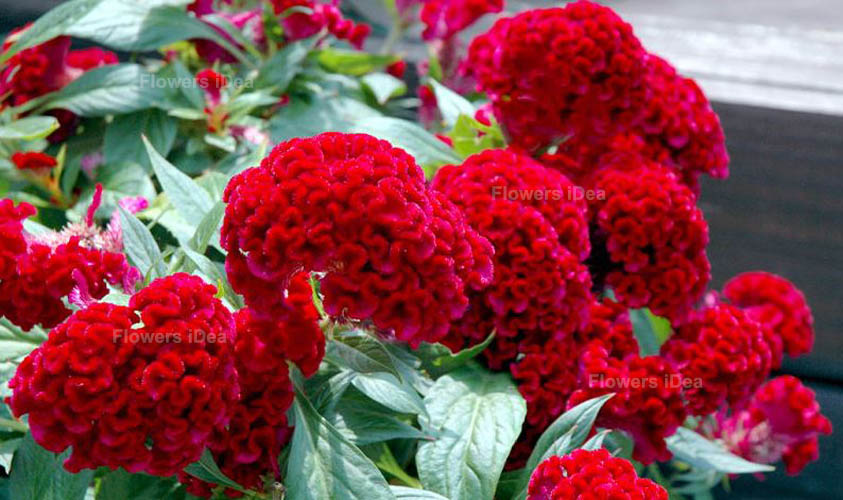 Celosias Red Fall Flowers