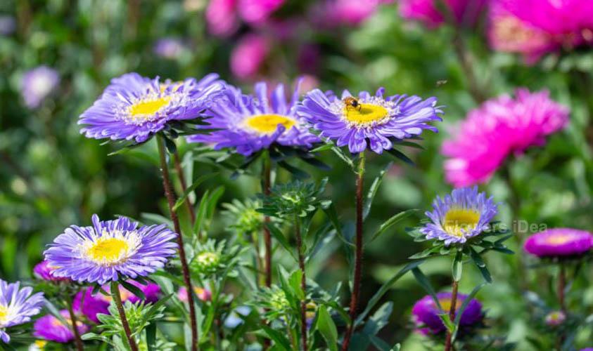 China Aster Purple Summer Flowers