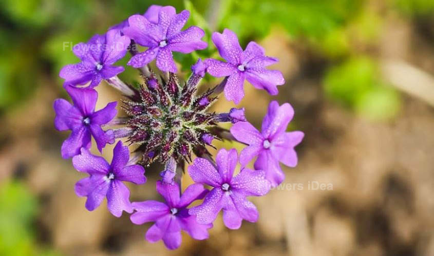 Creeping Vervain Purple Fall Flowers