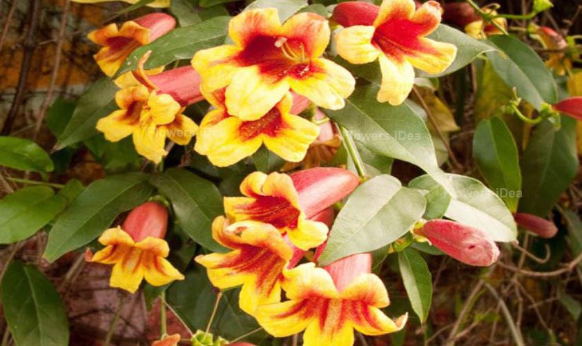 Crossvine Yellow Spring Flowers
