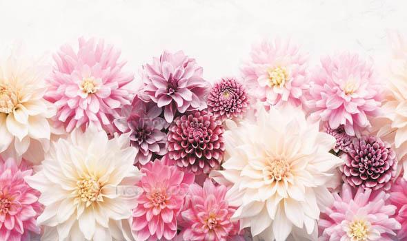 Dahlias White Flowers