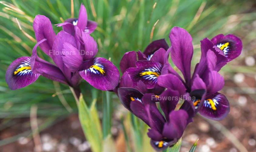Dwarf Iris Purple Spring Flowers