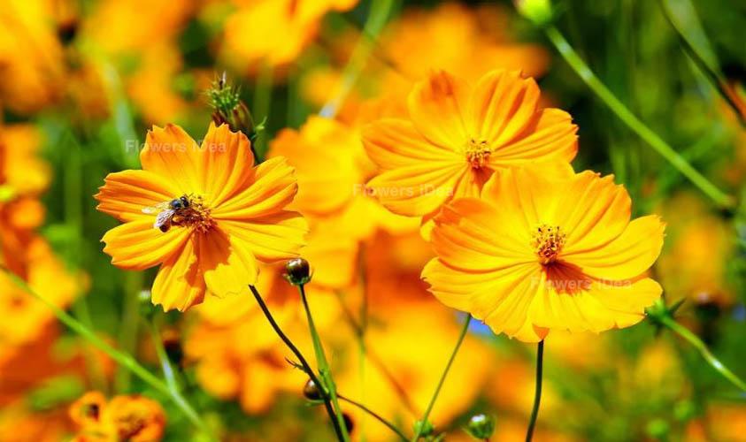 Garden Cosmos Yellow Summer Flowers