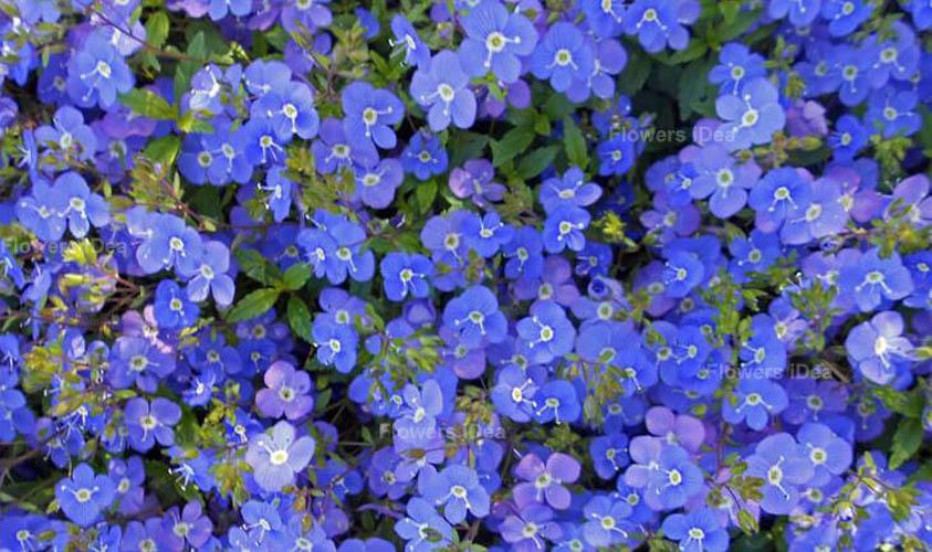 Georgia Blue Spring Flowers