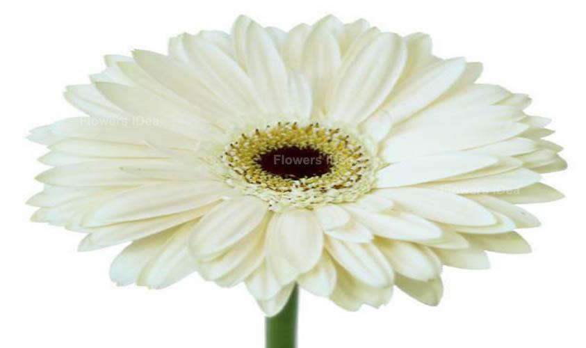 Gerbera Daisies White Summer Flowers