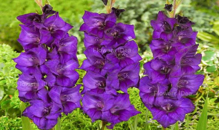 Gladiolus Purple Fall Flowers