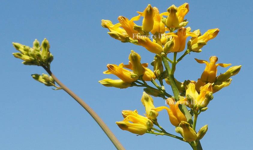 Golden Eardrops Yellow Spring Flowers