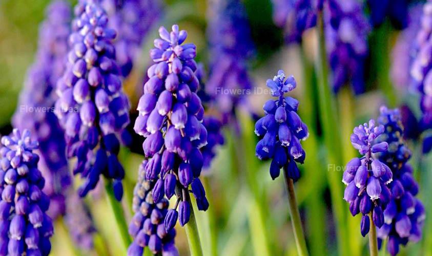 Grape Hyacinth Blue Spring Flowers