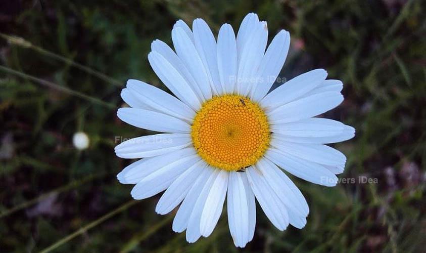 Heartleaf Oxeye Blue Fall Flowers