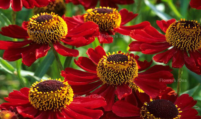 Heleniums Red Fall Flowers