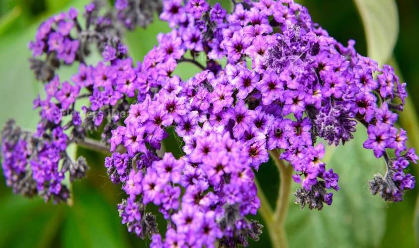 Heliotrope Purple Spring Flowers