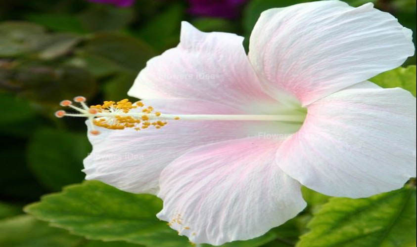 Hibiscus White Spring Flowers