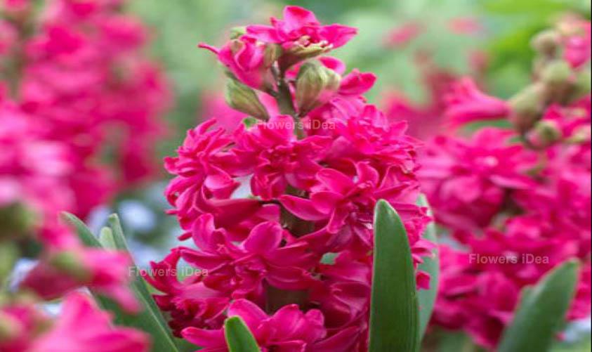 Hyacinths Red Summer Flowers