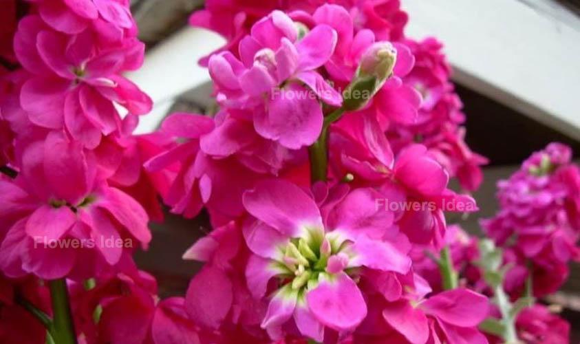 Matthiola Incana Love symbol Flowers
