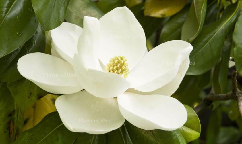 Magnolia White Spring Flowers