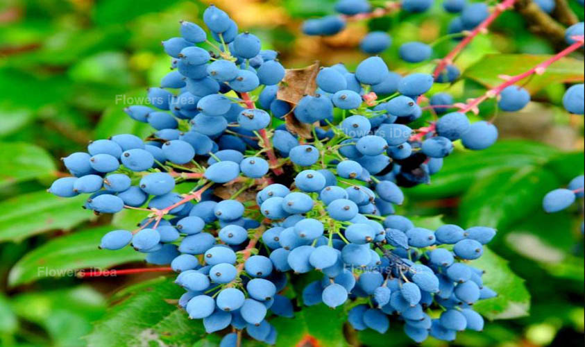 Mahonia Blue Winter Flowers